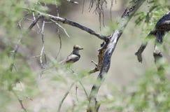 变成灰烬红喉刺莺的捕蝇器鸟,巨大洞山公园,亚利桑那 免版税库存图片