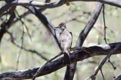 变成灰烬红喉刺莺的捕蝇器鸟,巨大洞山公园,亚利桑那 库存图片