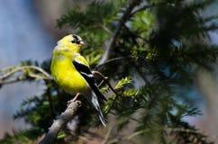 变成繁殖的全身羽毛的公金翅雀 免版税图库摄影