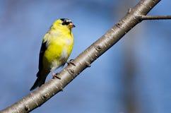 变成繁殖的全身羽毛的公金翅雀 库存照片