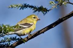 变成繁殖的全身羽毛的金翅雀 库存照片