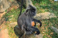 变成银色的叶子猴子Trachypithecus cristatus坐树根在一个室外公园 免版税库存图片