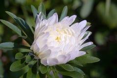 变白的翠菊紧密  库存图片