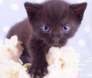 变粉红色与逗人喜爱的小猫的一朵白色玫瑰 库存照片
