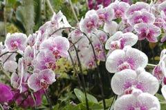 变粉红色兰花植物 免版税图库摄影