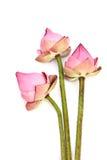 变粉红色在白色隔绝的莲花 免版税库存照片
