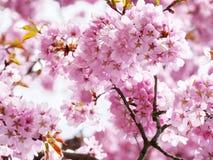 变粉红色在盛开的樱花。 免版税图库摄影