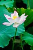 变粉红色在绽放的莲花 免版税库存图片