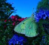变粉红色在Caryopteris的渐近的白蝴蝶Colias内部 图库摄影