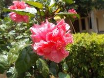 变粉红色木槿花 免版税库存图片