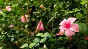 变粉红色木槿花 图库摄影
