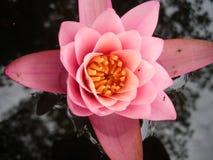 变粉红色水waterlily 免版税图库摄影