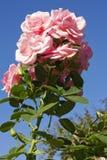 变粉红色玫瑰色天空 免版税库存照片