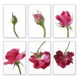 变粉红色玫瑰色顺序 免版税库存图片