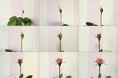 变粉红色玫瑰色 对花的坏 免版税库存照片