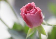 变粉红色玫瑰色 免版税图库摄影