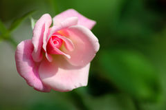 变粉红色玫瑰色 库存图片