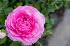 变粉红色玫瑰色 免版税库存照片