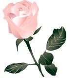 变粉红色玫瑰色 皇族释放例证