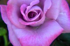变粉红色玫瑰色 库存照片