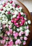 变粉红色白玫瑰 库存图片