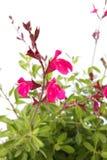 变粉红色红色salvia 图库摄影