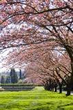 变粉红色结构树 免版税库存图片