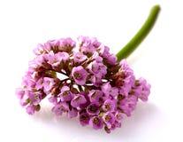 变粉红色花岩白菜属的特写镜头视图也叫大象耳朵, 图库摄影