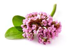变粉红色花岩白菜属的特写镜头视图也叫大象耳朵, 免版税图库摄影