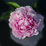 变粉红色被填装的牡丹,美丽的牡丹,重叠瓣 免版税库存照片