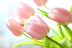 变粉红色郁金香 库存图片