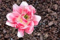 变粉红色郁金香 免版税库存图片