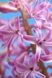 变粉红色风信花花 库存图片