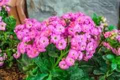 变粉红色Kalanchoe的特写镜头Blossfeldiana,石罗斯 免版税库存图片