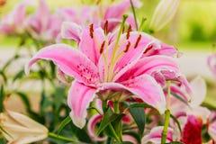 变粉红色lilly在庭院和音色里 免版税库存照片