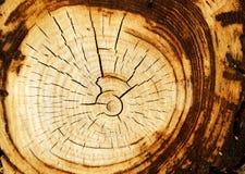 变老的结构树 库存图片
