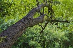 变老的结构树 免版税库存照片