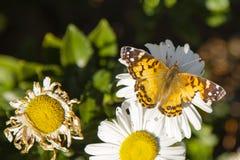 变老:被绘的夫人Butterfly和雏菊 免版税库存图片