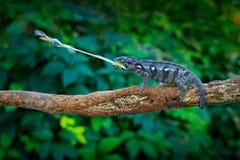 变色蜥蜴与长舌的狩猎昆虫 与长尾巴的异乎寻常的美丽的地方性绿色爬行动物从马达加斯加 野生生物场面f 库存照片