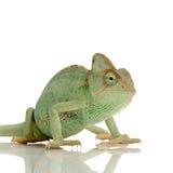 变色蜥蜴也门 图库摄影