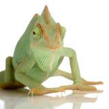 变色蜥蜴也门 免版税图库摄影