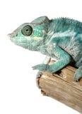 变色蜥蜴五颜六色的男 免版税库存图片