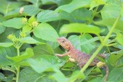 变色蜥蜴动物 免版税库存图片