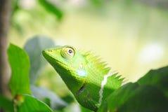 变色蜥蜴喀拉拉 库存照片