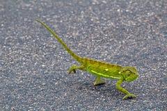 变色蜥蜴在克留格尔国家公园,南非 库存图片