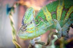 变色蜥蜴在分行休眠。 免版税图库摄影