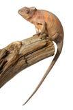 变色蜥蜴女性 免版税库存图片