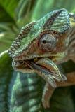 变色蜥蜴寻找在马达加斯加的狂放的本质的昆虫 免版税库存照片