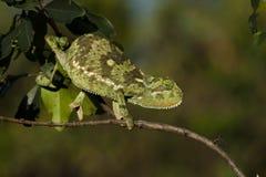 变色蜥蜴挡水板收缩肯尼亚mara的马塞&#3582 库存照片