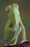 变色蜥蜴挥动 免版税库存照片